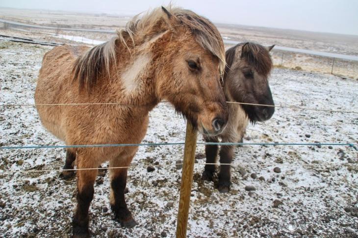 Chevaux Islandais - poney
